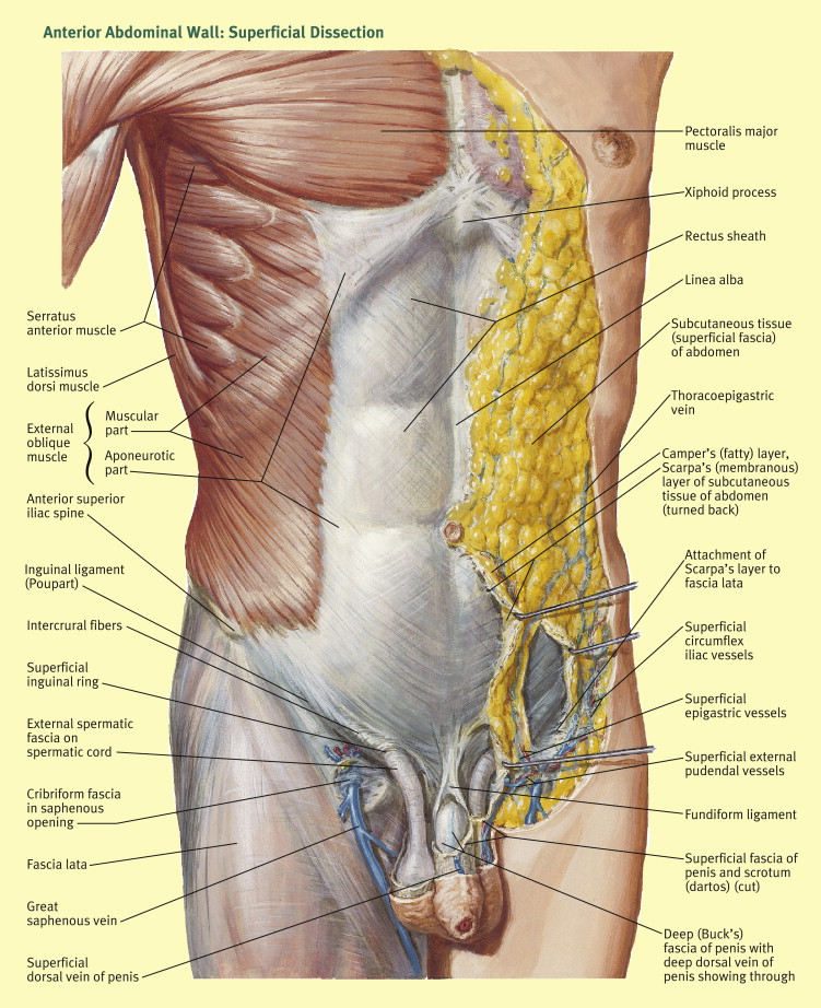 Abdomen Sites: Anatomy Of Abdominal Incisions