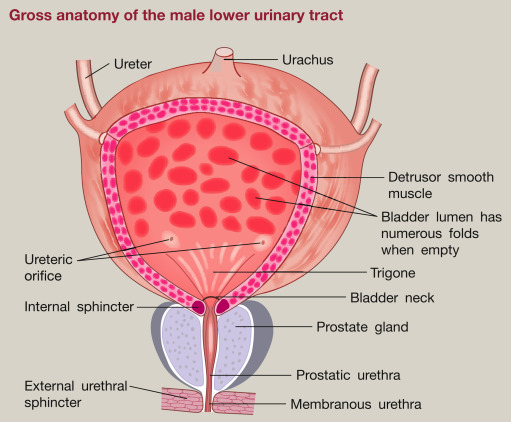 The physiology and pharmacology of the lower urinary tract ...